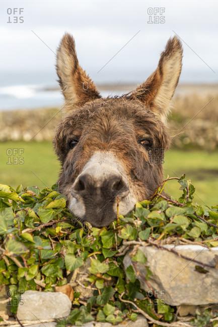 Donkey, inishmore, aran islands, county galway, connacht province, republic of ireland