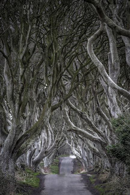 Dark hedges, avenue with beech trees, county antrim, northern ireland, uk