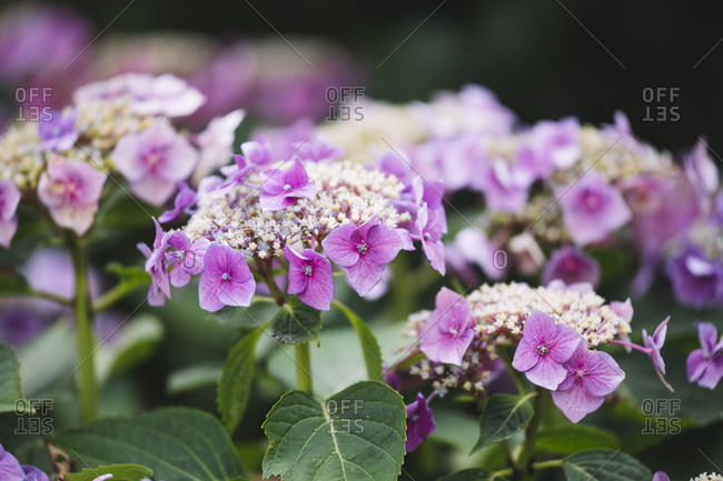 Detailed close-up of Hydrangea flowers