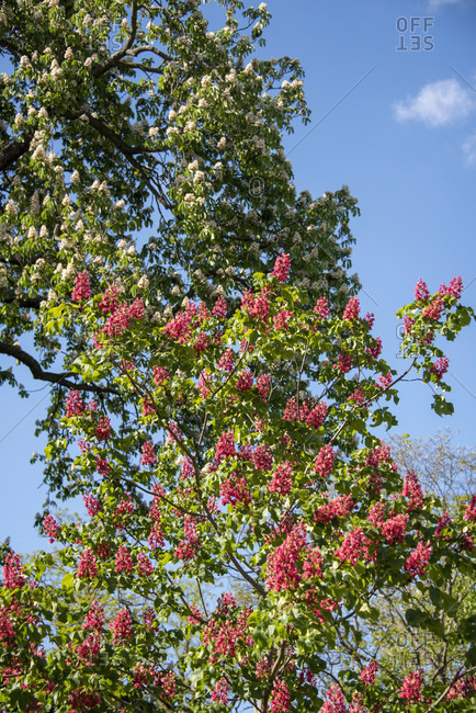 Flowering trees against blue sky