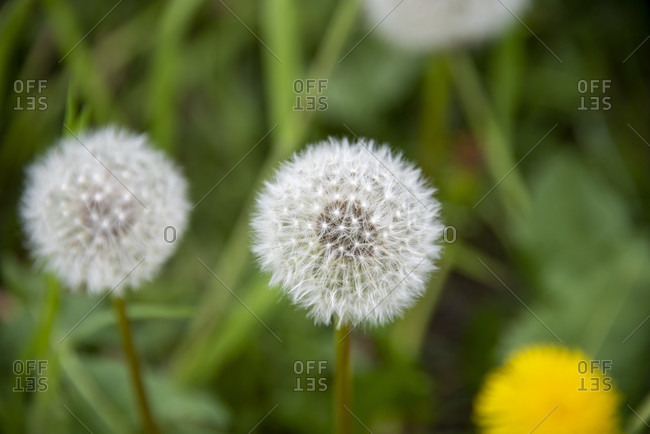 Detailed close-up of Dandelion flowers