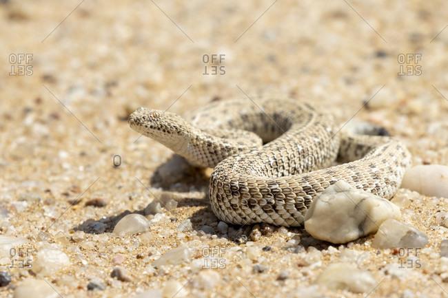Zwergpuffotter, Namibiper, Side winding adder, Sidewinder Snake, Bitis peringueyi, Sparassidae, Living Dunes Experience, Swakopmund, Namib-Naukluft National Park, Namibia
