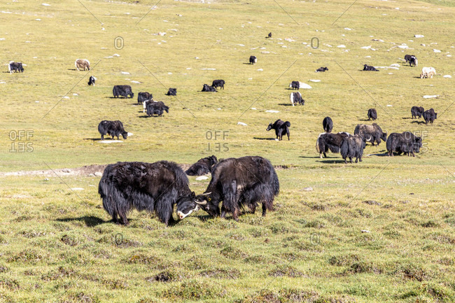 Yak cattle, Song Kol National Park, Kyrgyzstan