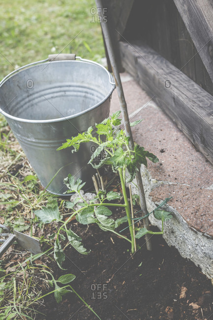 Tomato plants freshly planted in the garden.