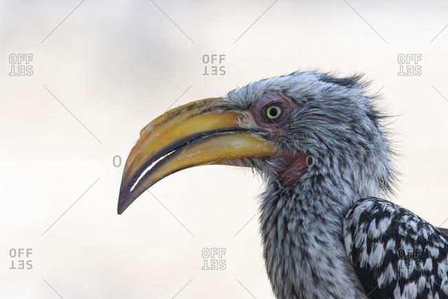 Southern Yellow-billed Toco, Tockus leucomelas, is an African bird that belongs to the hornbill (Bucerotidae), Etosha National Park, Etosha Pan