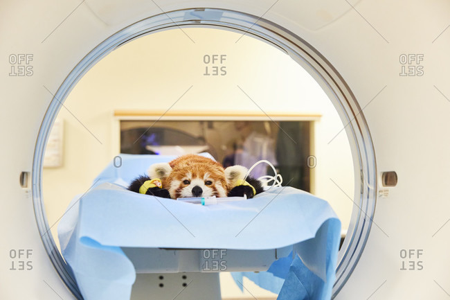Small panda, zoo animal, hospital, CT