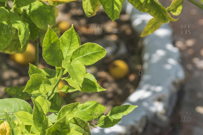 Sicily - Sunny impressions of the Aeolian Islands, Ripe lemons lie under the lemon tree, Salina Island.