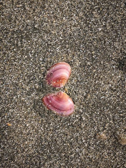 Shell, North Sea, beauty, sea, shell