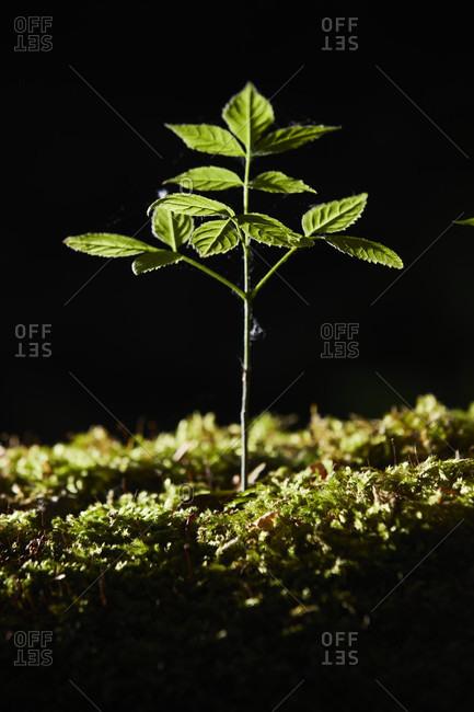 Sapling, back light, forest floor