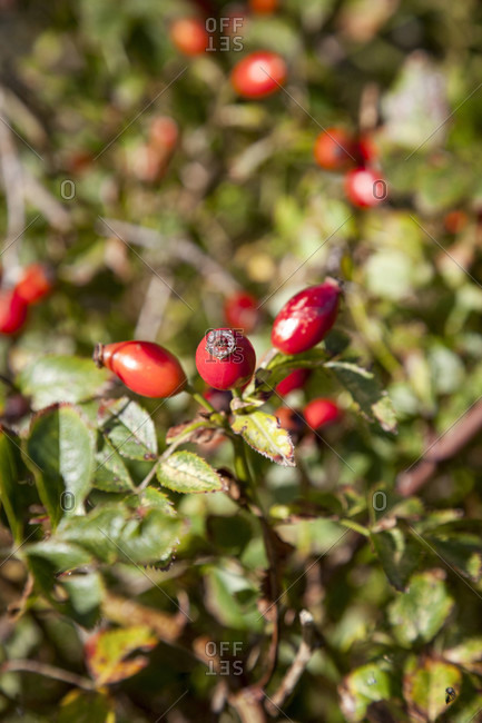 Rose hip, bush, fruits, self-sufficiency, garden