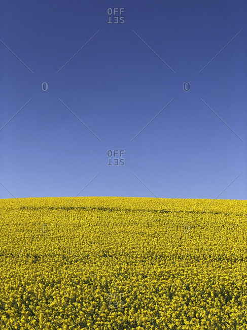 Rapeseed Field, Hill, Agriculture, Field, Country