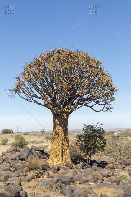 Quiver tree forest, quiver aloes, Keetmanshoop