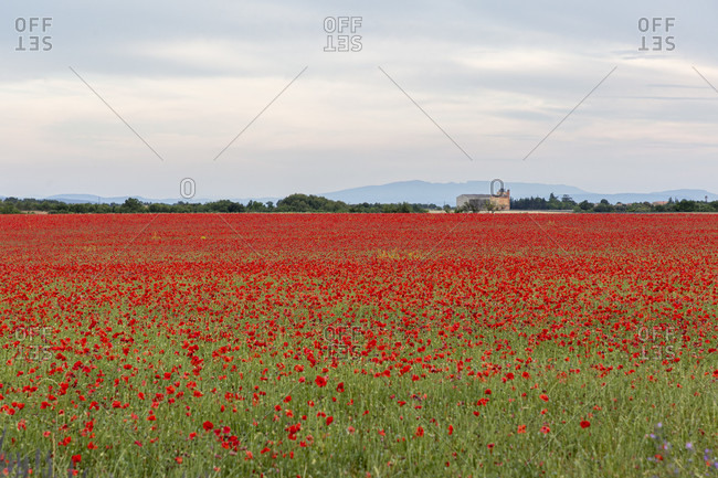 Poppy fields, Valensole, Alpes-de-Haute-Provence, Provence-Alpes-C�te d'Azur Region, France