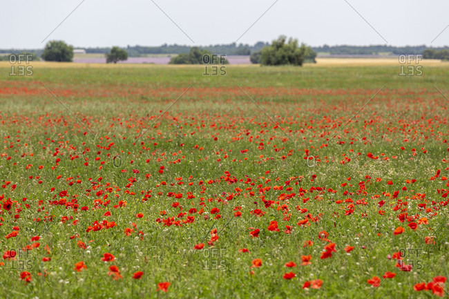Poppies, field, Valensole, Alpes-de-Haute-Provence, Provence-Alpes-Cote d'Azur Region, France