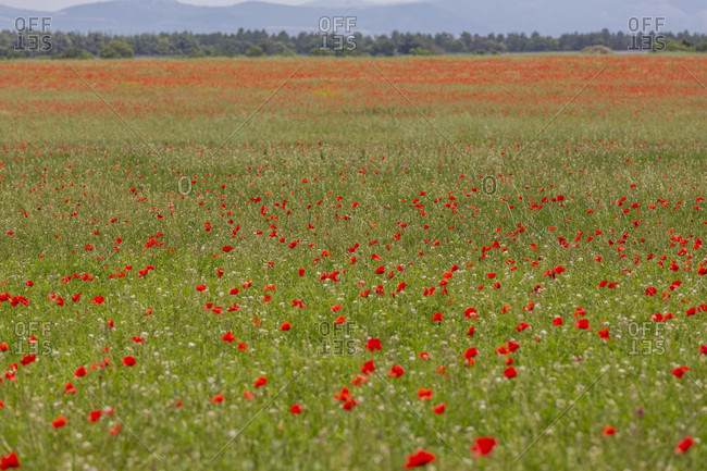 Poppies, field, Valensole, Alpes-de-Haute-Provence, Provence-Alpes-Cote d'Azur Region, France