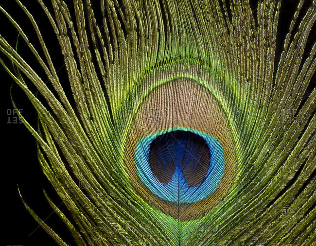 Peacock eye, peacock feather, close-up against black background
