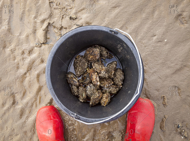 Oysters, collecting, buckets, self-sufficiency, mudflats, North Sea