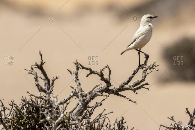 Namib Schmatzer, Trac Trac chat, Emarginata tractrac, Muscicapidae, Living Dunes Experience, Swakopmund, Namib-Naukluft National Park, Namibia