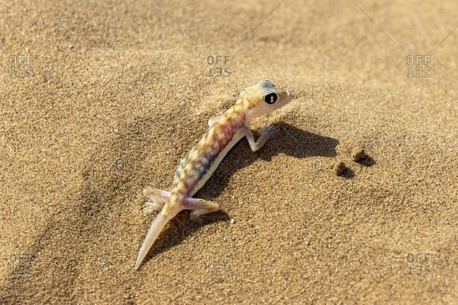 Namib gecko, also swimming gecko, Palmato gecko, Palmatogecko rangei, geckkonidae, Living Dunes Experience, Swakopmund, Namibia