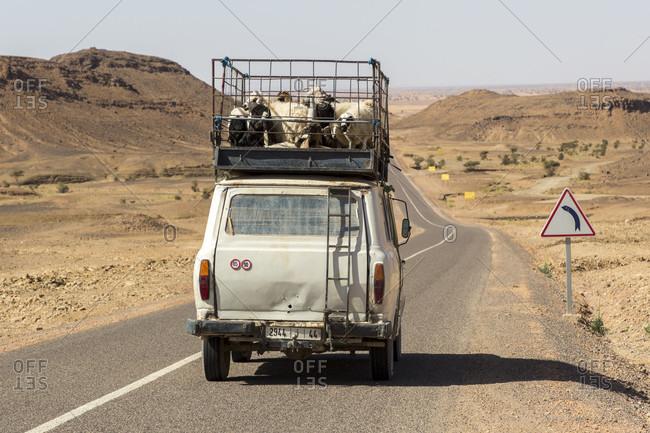 March 14, 2019: Livestock transportation, High Atlas, Morocco