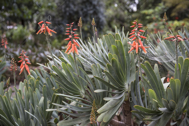 Kumara plicatilis, Botanical Garden, Puerto de la Cruz, Tenerife, Canary Islands, Spain