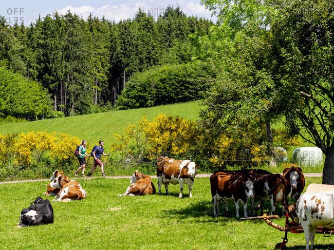 June 1, 2019: Hiking on the Zwealersteig, pasture on the Flachenberg