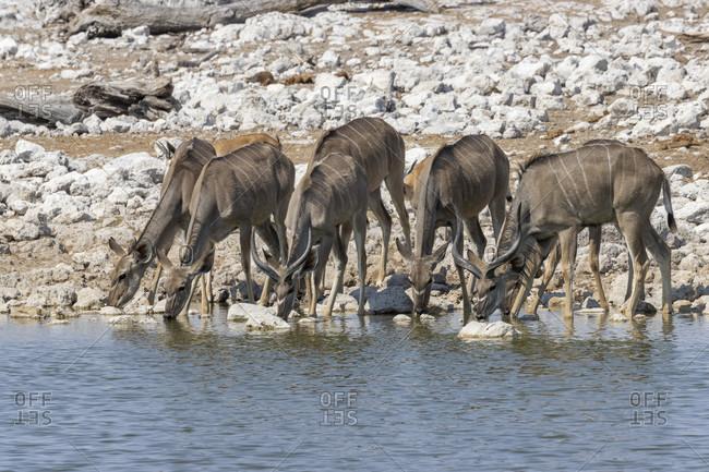 Great Kudu, Strepsiceros, Etosha National Park, Etosha Pan