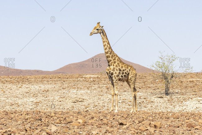 Giraffe in in habitat Damaraland, Namibia