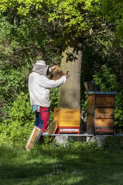 Germany, Saxony-Anhalt, Magdeburg, beekeepers inspect honeycombs.