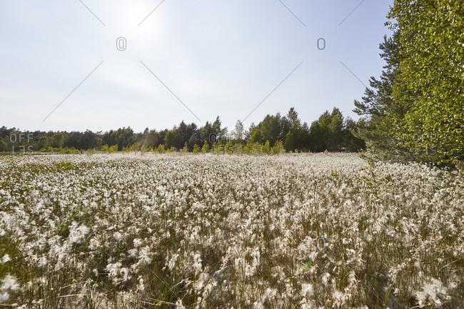 Germany, Mecklenburg-West Pomerania, bog, cotton grass, blossom
