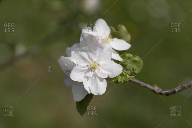 Fruit blossom, Lake Constance, Baden-Wurttemberg, Germany, Europe