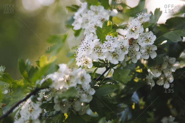 Flowers of the red thorn
