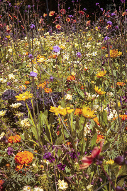 Flower meadow, wild flowers, conservation, in the country