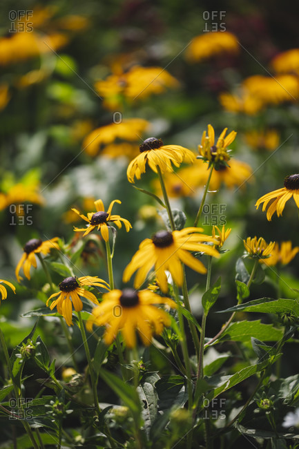 Detailed close-up of Yellow coneflower