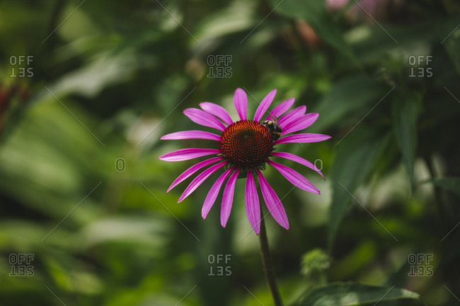 Detailed close-up of Purple coneflower