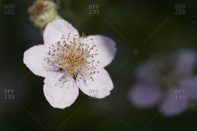 Detailed close-up of Blackberry, blossom