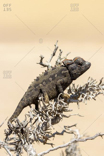 Desert chameleon, Namaqua chameleon, Chamaeleo namaquensis, Chamaelenonidae, Living Dunes Experience, Swakopmund, Namib-Naukluft National Park, Namibia
