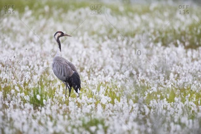 Crane, grus grus, bog landscape, cotton grass