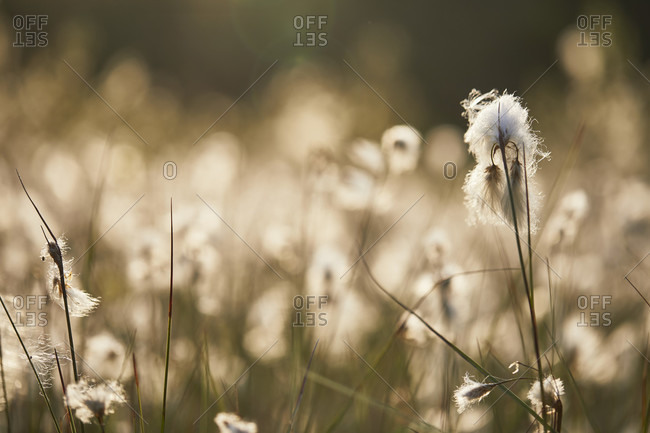 Cotton grass plant with bloom, infructescence