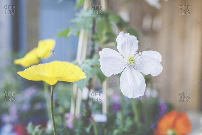 Clematis, Ranunculaceae, and Iceland Poppy, Papaver nudicaule, are beautiful summer bloomers for patios and balconies.