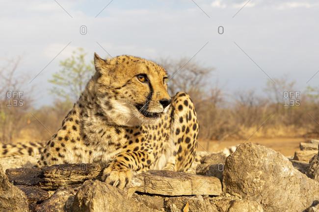 Cheetah, Acinonyx jubatus, farm near Windhoek, Namibia