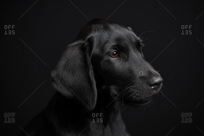 Black dog, puppy, labrador, photo studio