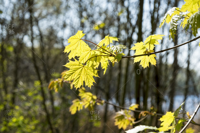 Berlin, Wannsee, Havel-Uferweg in spring, maple leaf in the back light