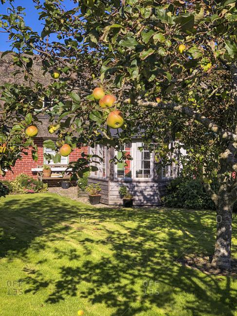 Apple tree, fruits, harvest time, summer, garden