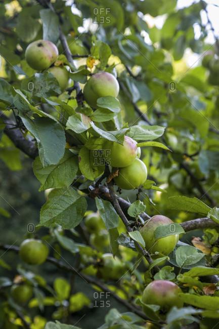 Apple tree, fruits, harvest time, autumn, greenery, leaves