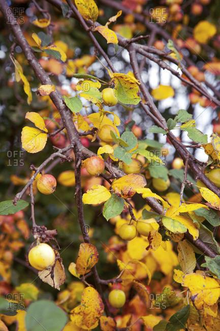 Apple tree, fruits, harvest time, autumn, autumn leaves