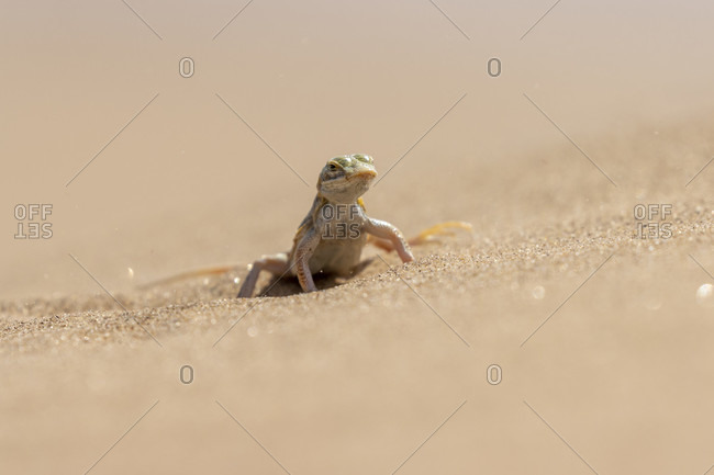 Anchietas dune lizard, desert lizard, sand diving lizard, shovel snouted lizard, Meroles anchietae, Lacertidae, Living Dunes Experience, Swakopmund, Namib-Naukluft National Park, Namibia