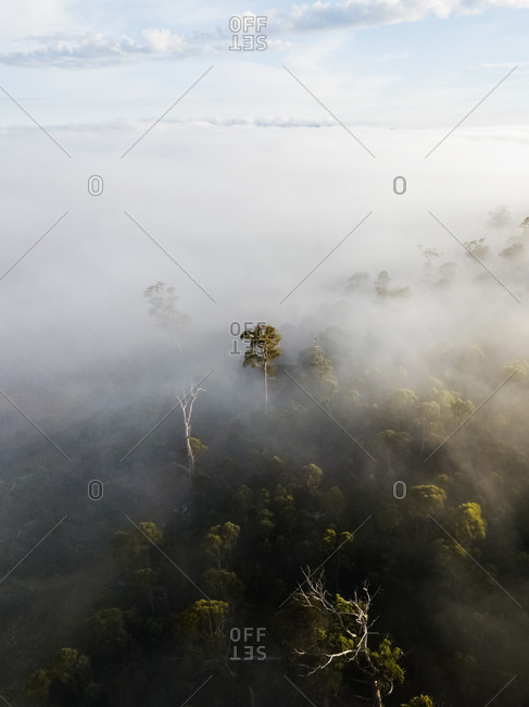 Aerial view of sunrise rays shining through foggy trees in forest of Western Tasmania, Australia