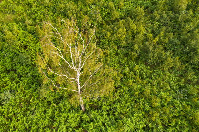 Abstract aerial view of birch tree between ferns, Aamsveen, Enschede, Twente, Overijssel, Netherlands