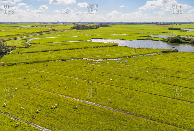 Aerial view of sheep grazing on grassland in peat meadow landscape, wetlands of Amsterdam, Waterland, Noord-Holland, The Netherlands